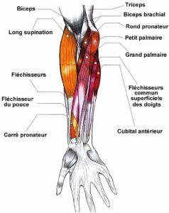 avant-bras-muscles-antérieurs