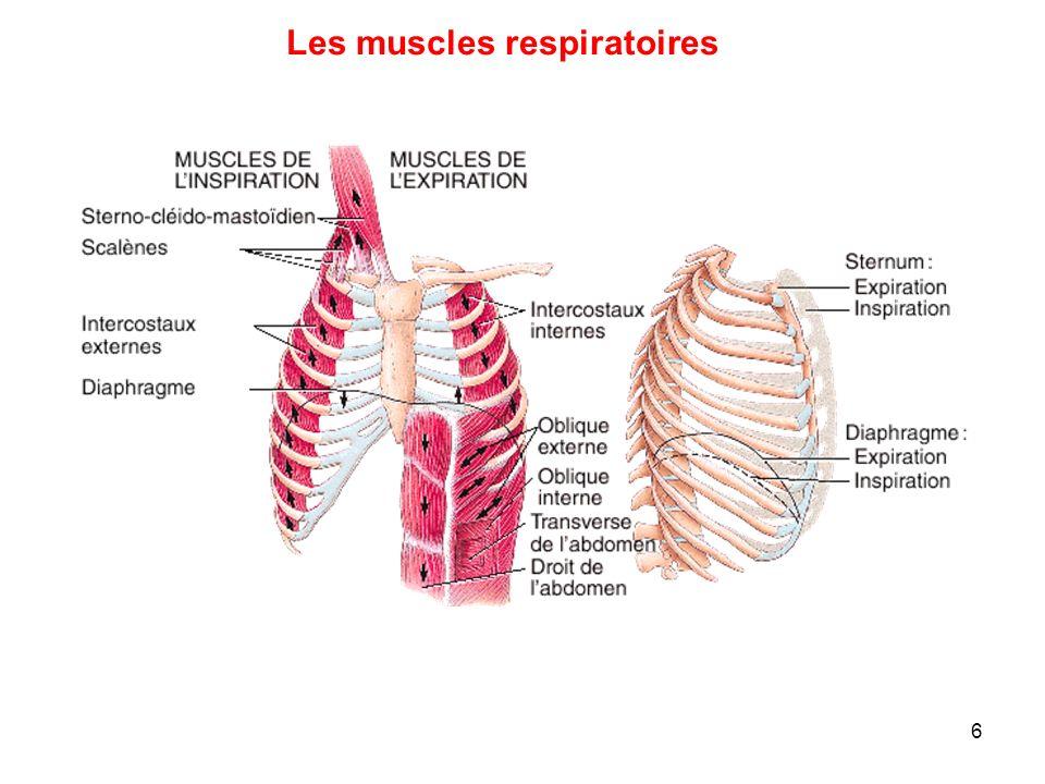 importance-des-muscles-respiratoires-en-force-athletique-et-powerlifting