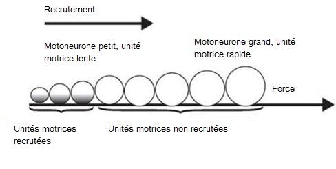 recrutement-motoneurone-unite-motrice-force-powerliftingmag